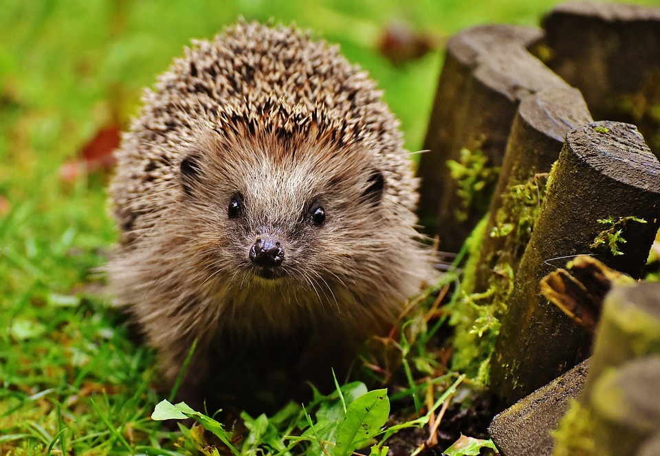 Have you spotted any hedgehogs on the Isle of Wight?