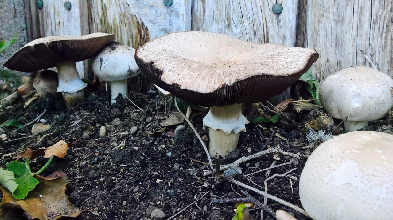 The mushrooms in Andria Richards's garden.